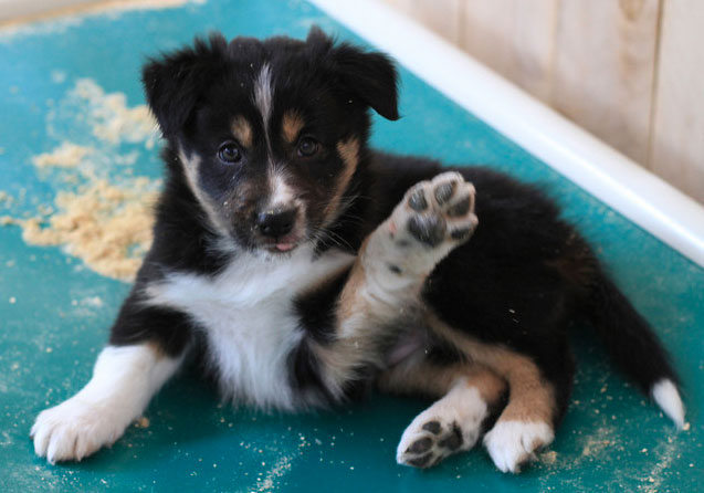 tri color border collie puppy for sale
